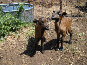 Barbados Black Belly Sheep - Welcome to Remember When Farm!